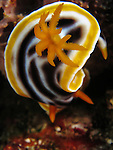 Du Li Jiao (Independence reef), Green Island -- Close up of the gill structure of the nudibranch Chromodoris magnifica.