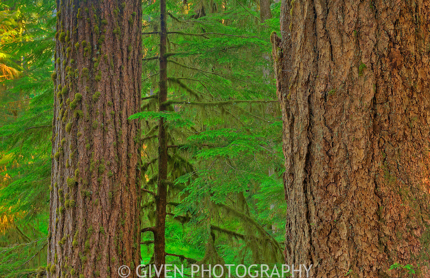 Old -growth trees in forest of Olympic National Park, Washington