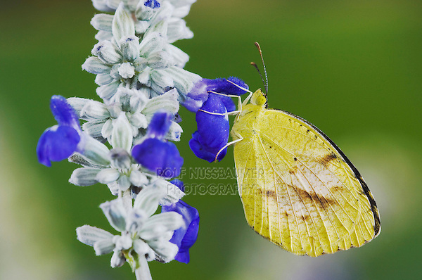 Sleepy Orange, Eurema nicippe, adult on Mealy sage (Salvia farinacea), Uvalde County, Hill Country, Texas, USA