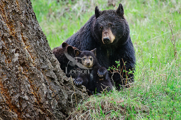 Wild Black Bears (Ursus americanus)--sow with young cubs.  Western U.S., Spring.