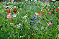 Pictorial Meadow - Standard (Classic) Mix - Shirley Poppy, Californian Poppy, Cornflower, Fairy Toadflax, Red Flax, Bishop's Flower, Tickseed and Corn Marigold, Black-eyed Susan, Red Orache and Larkspur