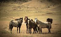 Hello! - Mustangs - Utah- Wild Horses