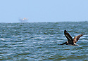 A brown pelican, threatened by the oil spill, flies near Elmer's Island, La., Friday, May 21, 2010.