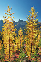 Tamarack or larch in fall color. North Cascades National Park. Washington