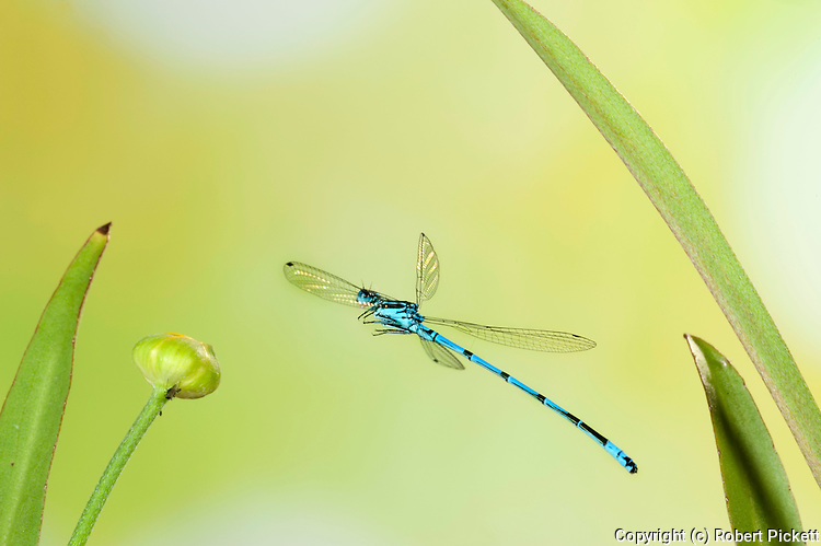 Common Coenagrion Damselfly, male, coenagrion puella, in flight, free flying over reeds at pond, high speed photographic technique, blue.United Kingdom....