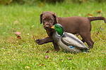 Lab puppy carrying a mallard decoy.