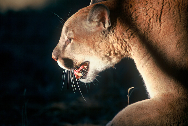 A captive mountain lion (Felis concolor) stands alert at the afternoon light's edge at the Prairie Wind Wildlife Refuge, east of Castlerock, Colorado.