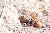 Spider-hunting wasp (Anoplius viaticus?) provisioning its nest with arachnid prey. Dorset, UK.