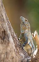 The black iguana (ctenosaur) is a large lizards commonly found near coastal areas.