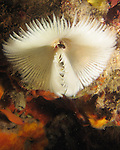 Kenting, Taiwan -- Tube worm