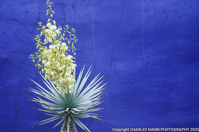 A Yucca rostrata in bloom makes a dramatic contrast in a simple composition with  a  blue wall in the demonstration garden at the Antique Rose Emporium in San Antotnio,Texas.