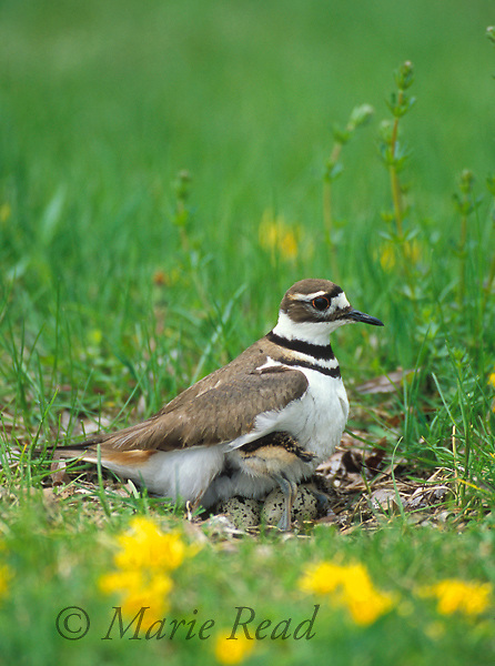 Killdeer (Charadrius vociferus) brooding its newly-hatched chick, while waiting for two other eggs to hatch, New York USA<br /> Slide # B52-293
