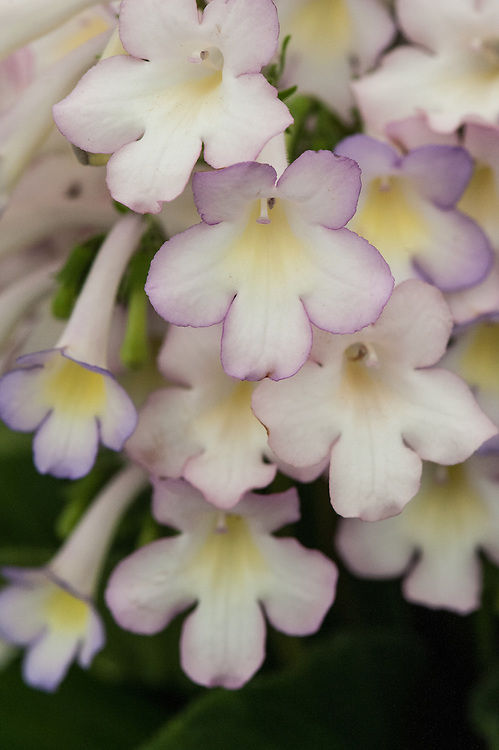 Streptocarpus 'Sweet Melys', claimed to have a scent similar to lily of the valley. Flowers gradually change colour from pale blue to pink.