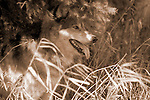 Timber or Grey Wolf, Canis Lupus, Minnesota  USA  .panting in undergrowth, Black & White image.USA....