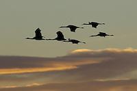 Sandhill Cranes in flight at Bosque Del Apache NWR