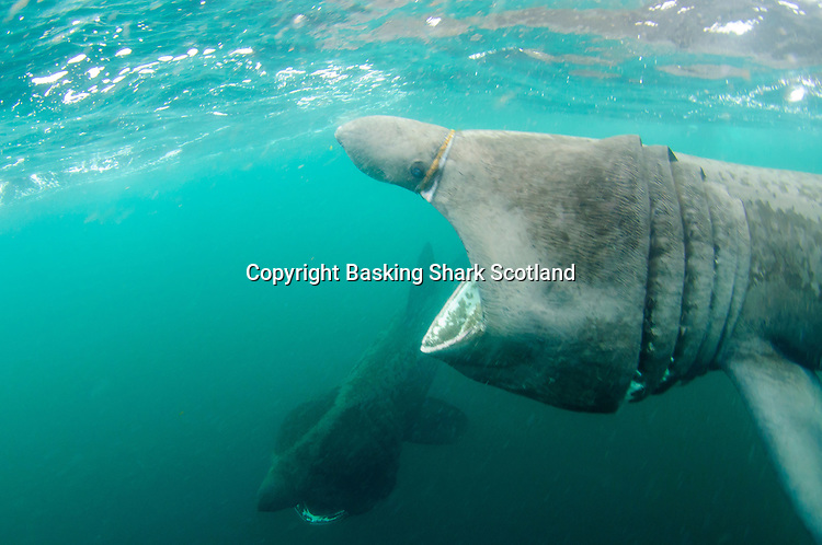 A giant of the Scottish hebrides islands. This shark has been fouled by a rope creating an abrasion round its snout.