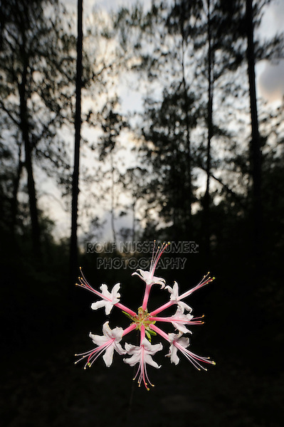 Hoary Azalea (Rhododendron canescens), blooming in forest, Big Thicket National Preserve, East Texas, USA