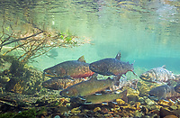bull trout, Salvelinus confluentus, Canyon Creek, Metolius River, Oregon, USA