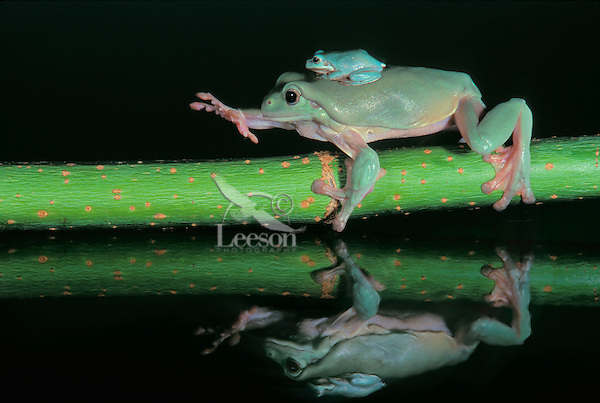 WHITES'S TREE FROG. Adult & Young..Native to Australia & Indonesia..Captive.( Litoria caerulea)..Photo Credit: Kitchin & Hurst