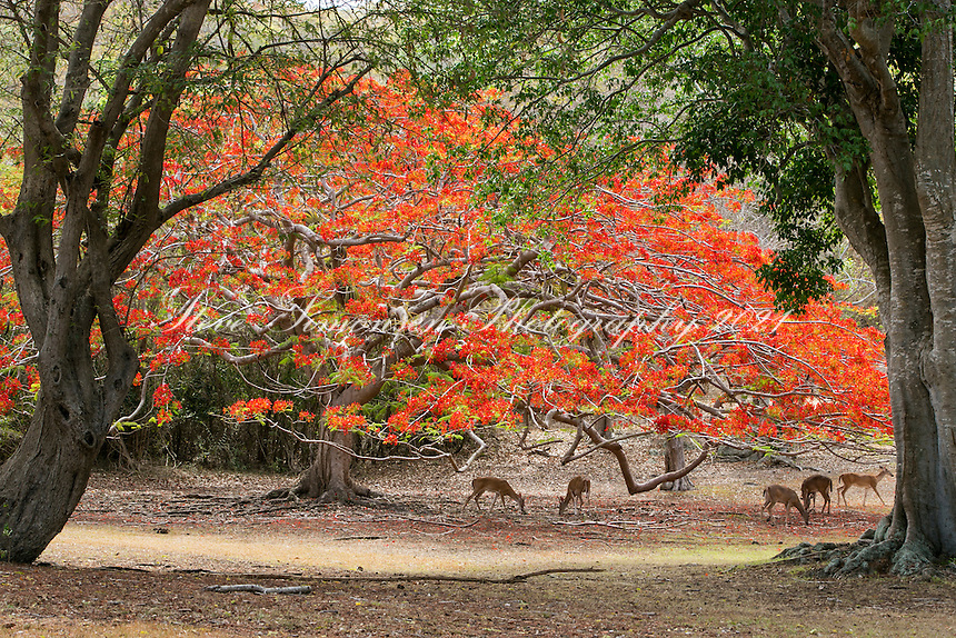 Flamboyant tree and deer<br />