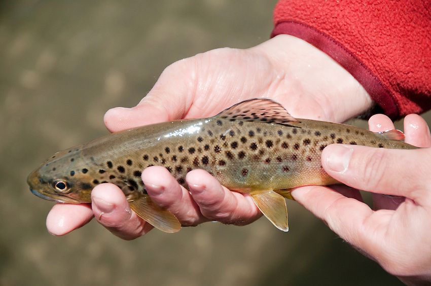 A brown trout caught on the Green River in the Driftless Area of southwest Wisconsin.