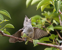 I observed this female titmouse vibrating her wings, with the male above just out of frame. Females subordinate themselves to their mates throughout the year, as well as other males.<br /> They would move from branch to branch as she repeated this quivering of her wings..