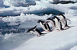 Adelie penguins run into sea, Antarctica