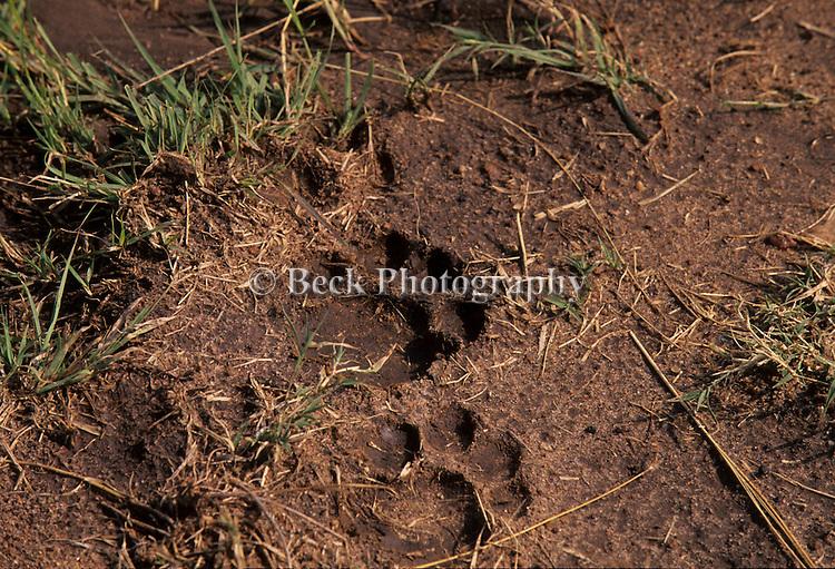 Lion tracks