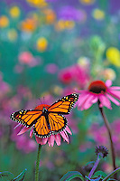 Px246  Monarch Butterfly on coneflower in field of wildflowers. Prairie areas in mid Western US.