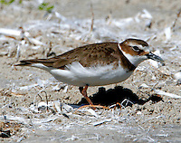 Adult Wilson's plover in breeding plumage
