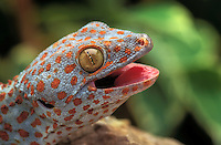 TOKAY GECKO..Native to southeast Asia..(Gekko gecko). Captive.