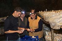 Europe/France/Rhône-Alpes/74/Haute-Savoie/Annecy: Stéphane Dattrino et son épouse Magali, restaurant: L'Esquisse,  choisit ses champignons chez Madame Audouit dans sa champignonnière de Lovagny ou elle cultive  champignon de Paris, la pleurote et le shii-take. Le travail y est resté traditionnel, sans serre climatisée, grâce à ces galeries idéales en température et en humidité.<br /> Champignonnière en activité, située dans les anciennes mines d'asphalte  [Non destiné à un usage publicitaire - Not intended for an advertising use]