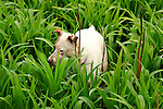 Jack Russel Terrier hunting moles in spring tiger lily.