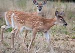 Young deer in HOt Springs, Montana