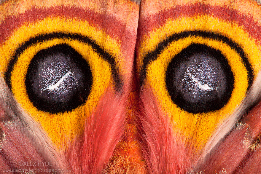 Close-up of Bullseye Moth {Automeris io} showing eye spot markings on wings during deimatic display to deter predators. Captive, originating from North and Central America.