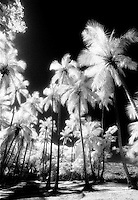 Palm trees in St. John's.