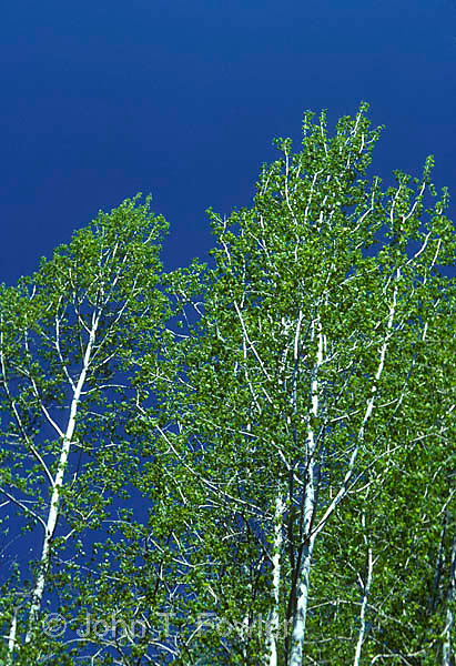 Largetooth Aspen trees, Populus grandidentata