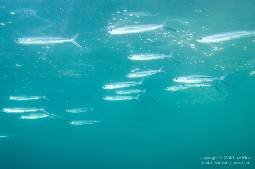 San Clemente Island, Channel Islands, California; a polarized school of California Flyingfish (Cypselurus californicus) swim near the water's surface in late afternoon