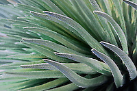 Beautiful closeup photo of the Silversword plant in HALEAKALA NATIONAL PARK on Maui in Hawaii USA
