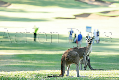 27.02.2016. Perth, Australia. ISPS HANDA Perth International Golf. Golf goes on as the local Kangaroos rest in the shade on the second fairway.