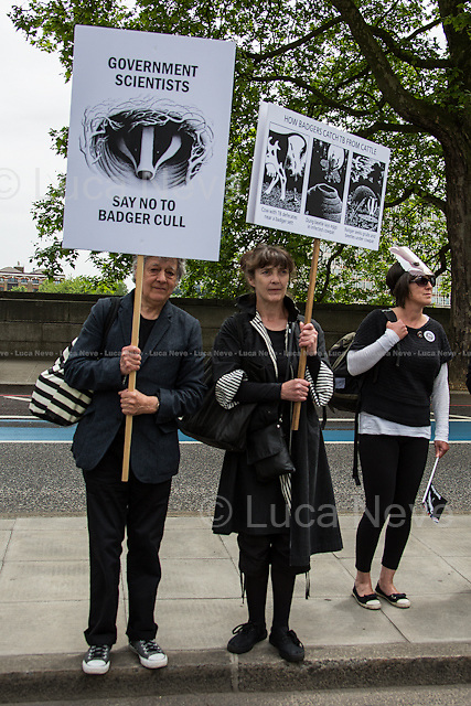 London, 01/06/2013. &quot;London Against the Badger Cull&quot; held a demonstration in central London against the UK Government's controversial pilot badger cull which began today. From their website: &lt;&lt;We think that the government and farmers are scapegoating badgers to avoid addressing the real cause of bTB (bovine tuberculosis): bad farming practices. We feel the evidence suggests that intensive farming and the inhumane treatment of cows in the dairy industry is to blame for the spread of this terrible disease. Cows farmed for the dairy industry live in squalid, overcrowded conditions. They are also under tremendous stress and are overworked, meaning that they are very prone to the spread of diseases. We would like to see the end of cruel farming practices and a more healthy respect for this country's invaluable wildlife by the government and farming communities&gt;&gt;.<br /> <br /> For more information please click here: http://www.londonagainstthecull.org.uk/