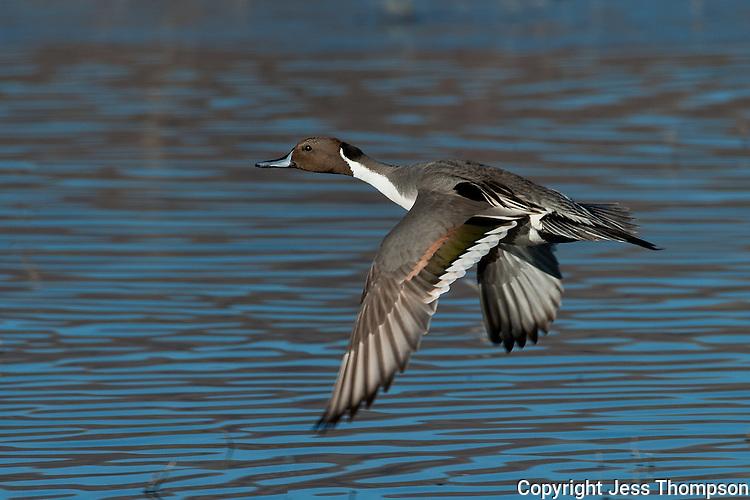 Pintail Duck in flight, Bosque del Apache NWR, New Mexico
