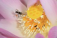A Meliponula ferruginea bee on a lotus flower. (Congo-Brazzaville)///Sur une fleur de lotus une Meliponula ferruginea. (Congobrazzaville)