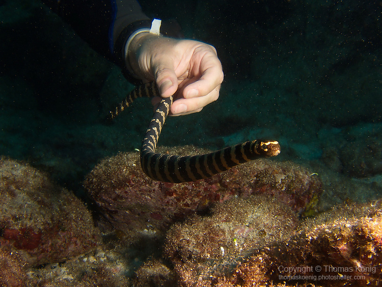 Lighthouse, Green Island -- Diver handling a sea snake.