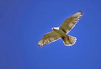 Gyrfalcon - Falco rusticolus - white phase