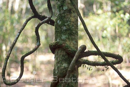 The spiral method of growth allows a lawyer vine to wrap itself around its host tree most efficiently before running out of room for growth. (SPIRALS - HELIX).Strangler vine on tree trunk in subtropical rainforest. Lamington NP, Queensland.