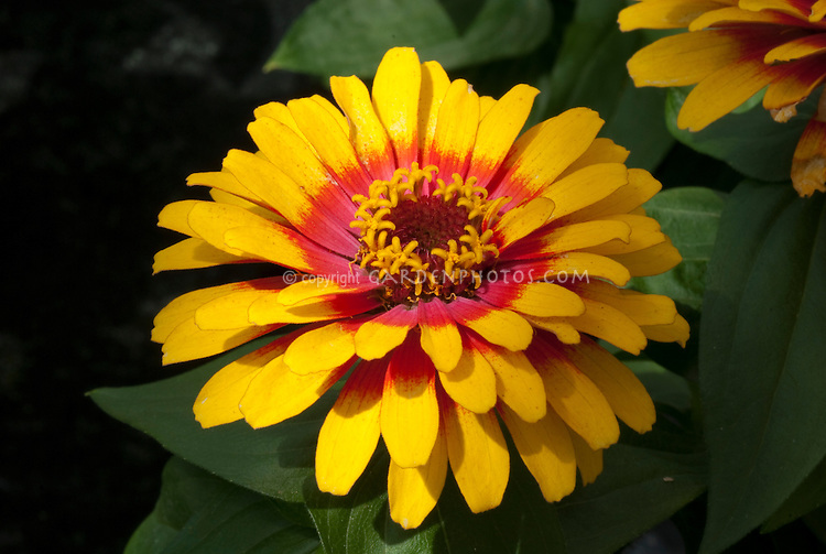 Zinnia 'Swizzle Scarlet and Yellow' annuals flower in summer garden bloom in red and yellow color