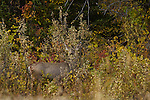 Deer foraging in autumn brush, Shoshone National Forest, Wyoming