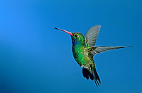 549801011 a wild male broad-billed hummingbird cynanthus latrostis hovers against a blue sky in madera canyon in southeastern arizona