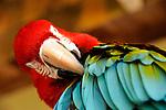 Macaw parrot, Westin Resort, St. John, USVI.